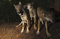Wolf (Canis lupus) trio playing, Tver, Russia