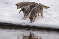 Wolf (Canis lupus) pack in snow along river, Tver,