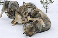 Wolf (Canis lupus) trio in dominance display in sn