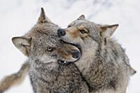 Wolf (Canis lupus) pair greeting each other in win