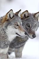 Wolf (Canis lupus) pair in winter, Tver, Russia