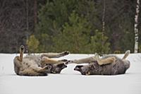 Wolf (Canis lupus) pair rolling in snow, Tver, Rus