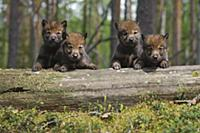 Wolf (Canis lupus) pups, Tver, Russia