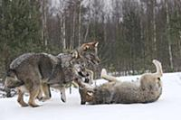 Wolf (Canis lupus) trio playing in snow, Tver, Rus