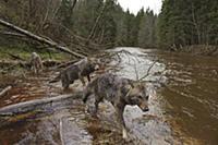 Wolf (Canis lupus) trio crossing river, Tver, Russ