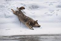 Wolf (Canis lupus) rolling in snow, Tver, Russia