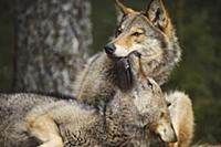 Wolf (Canis lupus) in submissive display, Tver, Ru