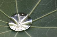 Water drop in leaf of lupine, Germany