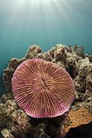 Mushroom Coral (Fungia scutaria), Fiji