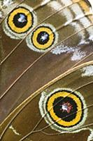 Blue Morpho (Morpho peleides) butterfly wing with