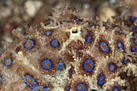 Greater Blue-ringed Octopus (Hapalochlaena lunulat