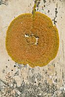 Round lichen on sandstone, Cataract Canyon, Canyon