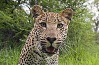 Leopard (Panthera pardus), Botswana
