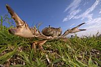 Crab (Potamonautes sp) in defensive posture, Silak