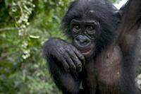 Bonobo (Pan paniscus) juvenile orphan, Sanctuary L