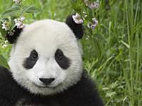 Giant Panda (Ailuropoda melanoleuca) portrait, cap
