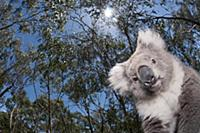 Koala (Phastolarctos cinereus) in Gum Tree (Eucaly