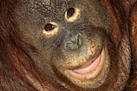Orangutan (Pongo pygmaeus) female, native to Asia