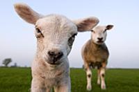 Domestic Sheep (Ovis aries) lamb, Veenwouden, Frie