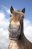 Domestic Horse (Equus caballus) portrait, Oeffelt,