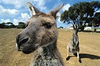 Western Grey Kangaroo (Macropus fuliginosus) group