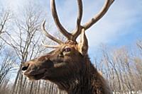 Elk (Cervus elaphus) bull, Omega Park, Montebello,