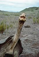 Saddleback Galapagos Tortoise (Chelonoidis nigra h