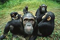 Chimpanzee (Pan troglodytes) female looking into t