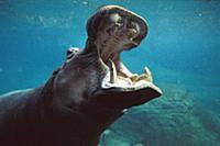 Hippopotamus (Hippopotamus amphibius) swimming sub