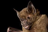 Greater Spear-nosed Bat (Phyllostomus hastatus) ju