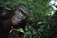 Bonobo (Pan paniscus) portrait of a male, ABC Sanc