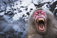 Japanese Macaque (Macaca fuscata) male yawning whi