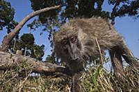 Olive Baboon (Papio anubis) juvenile inspecting ca