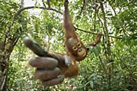 Orangutan (Pongo pygmaeus) juvenile investigating