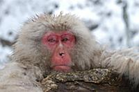 Japanese Macaque (Macaca fuscata) head, Resting at