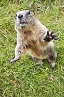 Alpine Marmot (Marmota marmota) reaching towards t