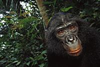 Bonobo (Pan paniscus), portrait of a male, ABC San