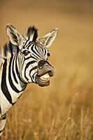 Burchell's Zebra (Equus burchellii) reacting to pa
