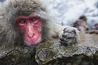 Japanese Macaque (Macaca fuscata) female resting a