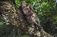 Long-tailed Macaque (Macaca fascicularis) juvenile