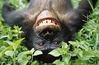 Bonobo (Pan paniscus) smiling while laying on grou