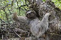 Pygmy Three-toed Sloth (Bradypus pygmaeus), Isla E