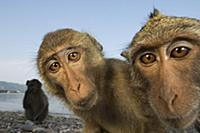 Long-tailed Macaque (Macaca fascicularis) group, K