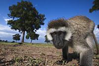 Black-faced Vervet Monkey (Cercopithecus aethiops)
