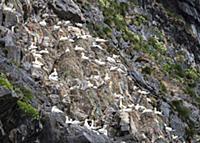 Northern Gannet (Morus bassanus) group nesting on