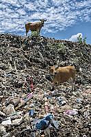 Domestic Cattle (Bos taurus) pair in plastic trash