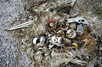 Laysan Albatross (Phoebastria immutabilis) mortali