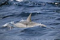 Spinner Dolphin (Stenella longirostris) with white