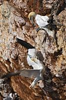 Northern Gannet (Morus bassanus) tangled up in fis