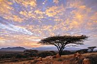 Acacia (Acacia sp) tree at Sunrise, El Barta, Keny